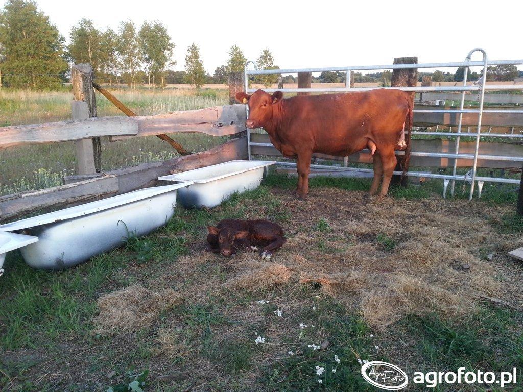 Angusy - byczek z matka