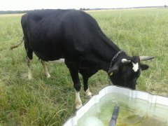 Krowa HF