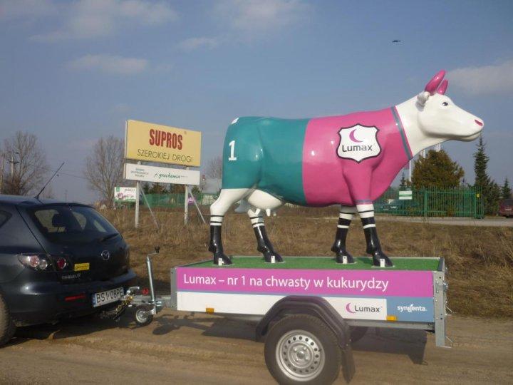 Krowy w trasie 2.JPG