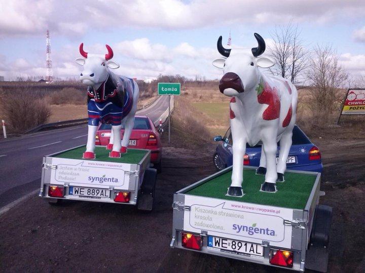 Krowy w trasie 3.jpg