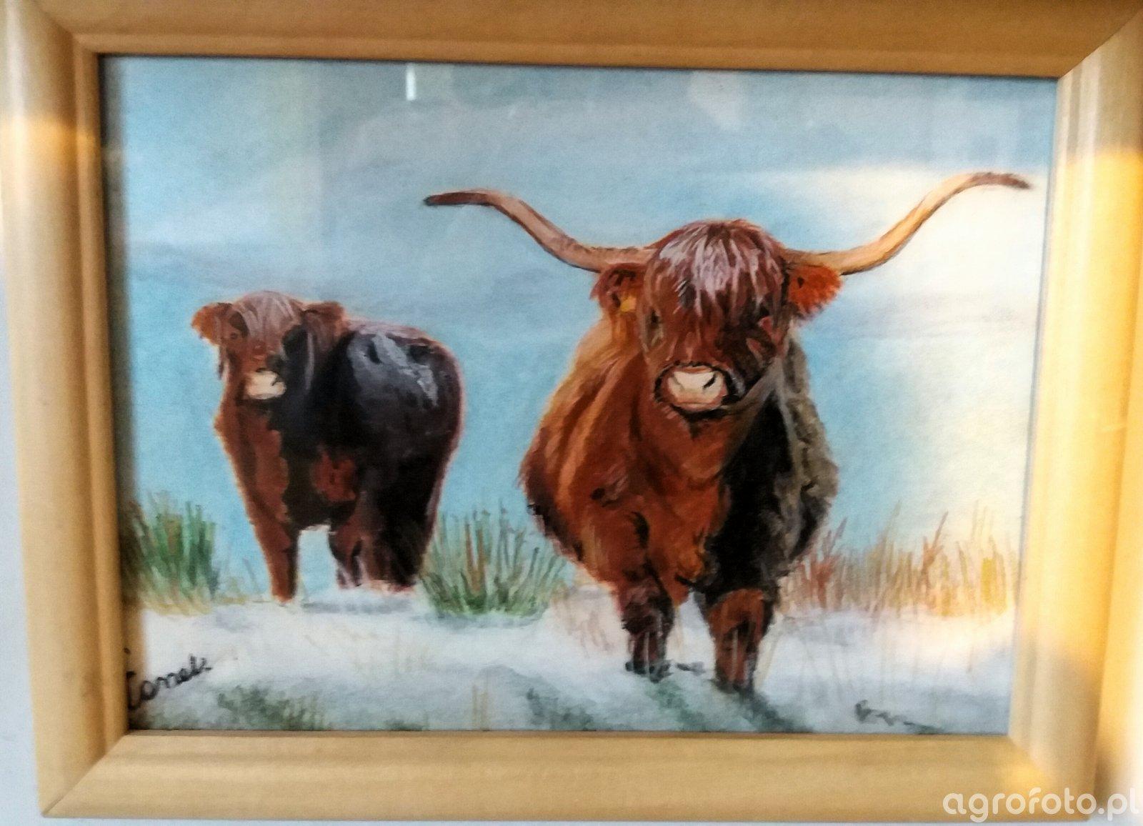 Obrazek z krowami Highland