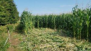 Kukurydza vs dziki