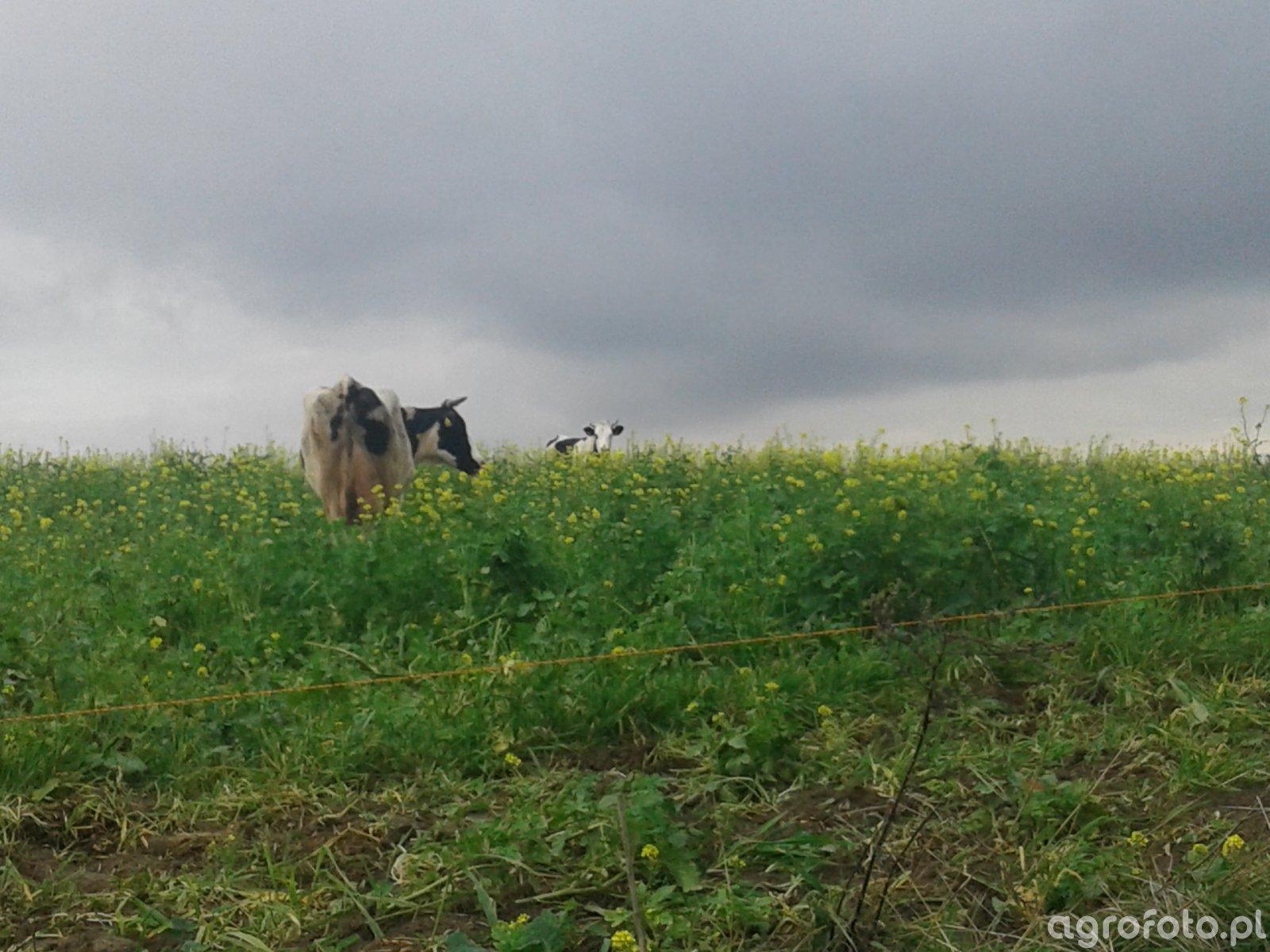 Krowy na poplonach