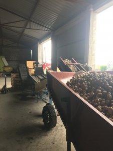 Linia do przebierania ziemniaków na sadzeniak.