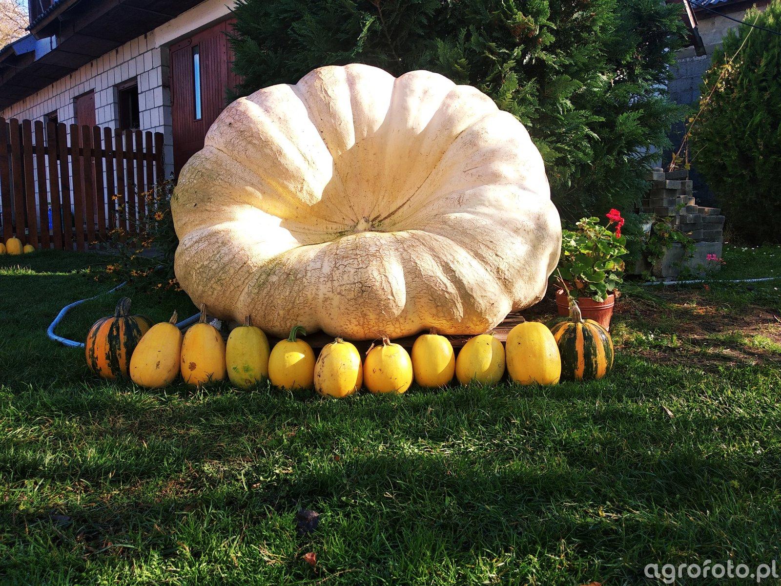 Dynia Olbrzymia Atlantic Giant Pumpkin