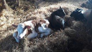 Jałówka I byczki